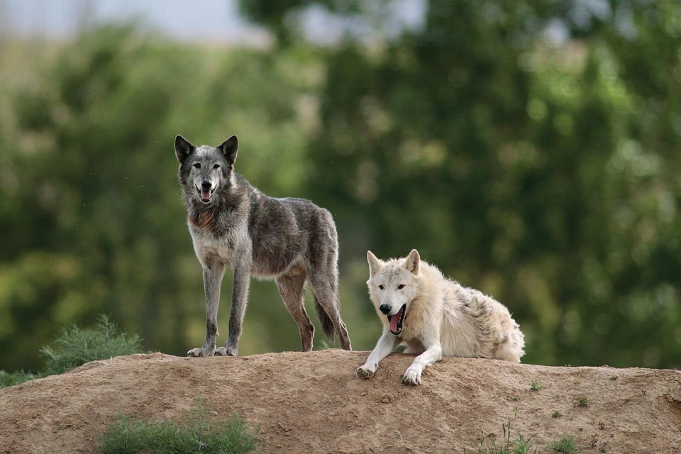 Wolves play together