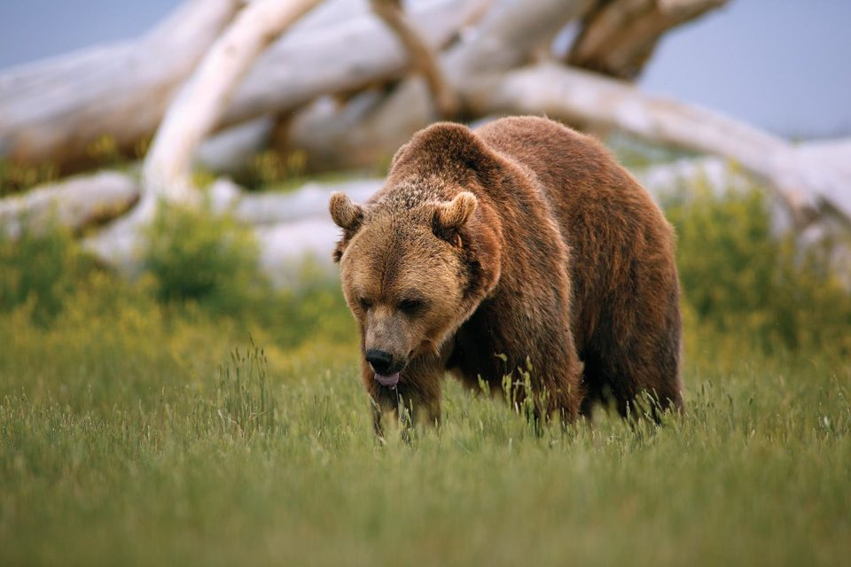 A brown bear roams the vast open spaces at the Sanctuary.