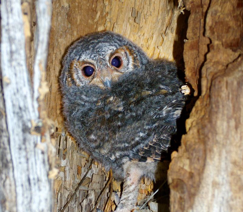 Flammulated-Owl