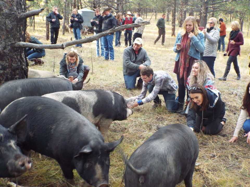 grazing life pigs