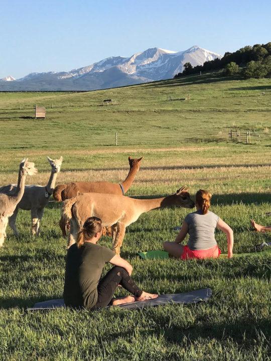 Cedar Ridge Ranch, alpaca, yoga
