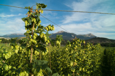 Colorado hops