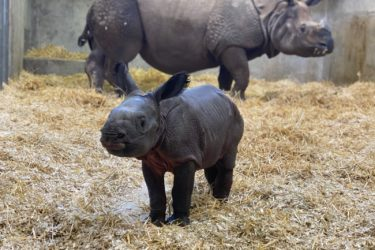 Denver Zoo Baby Rhino
