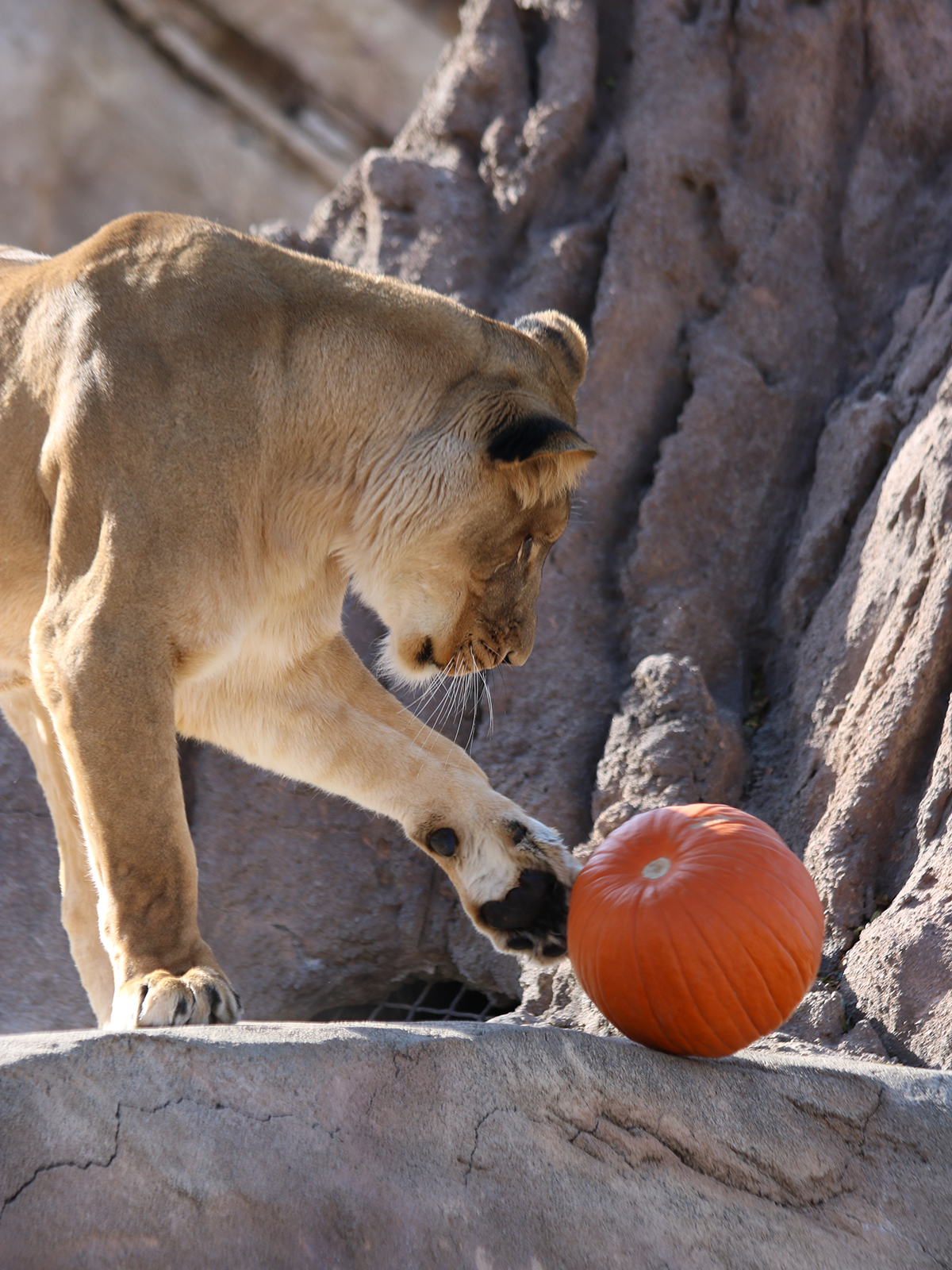 Lion playing with pumpkin