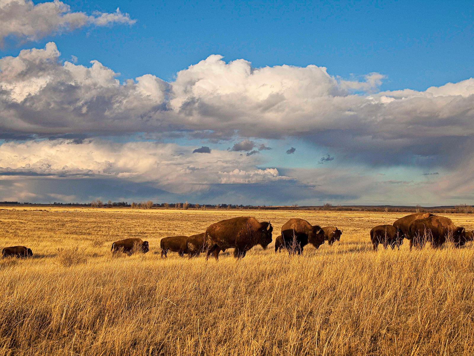 Montana Bison