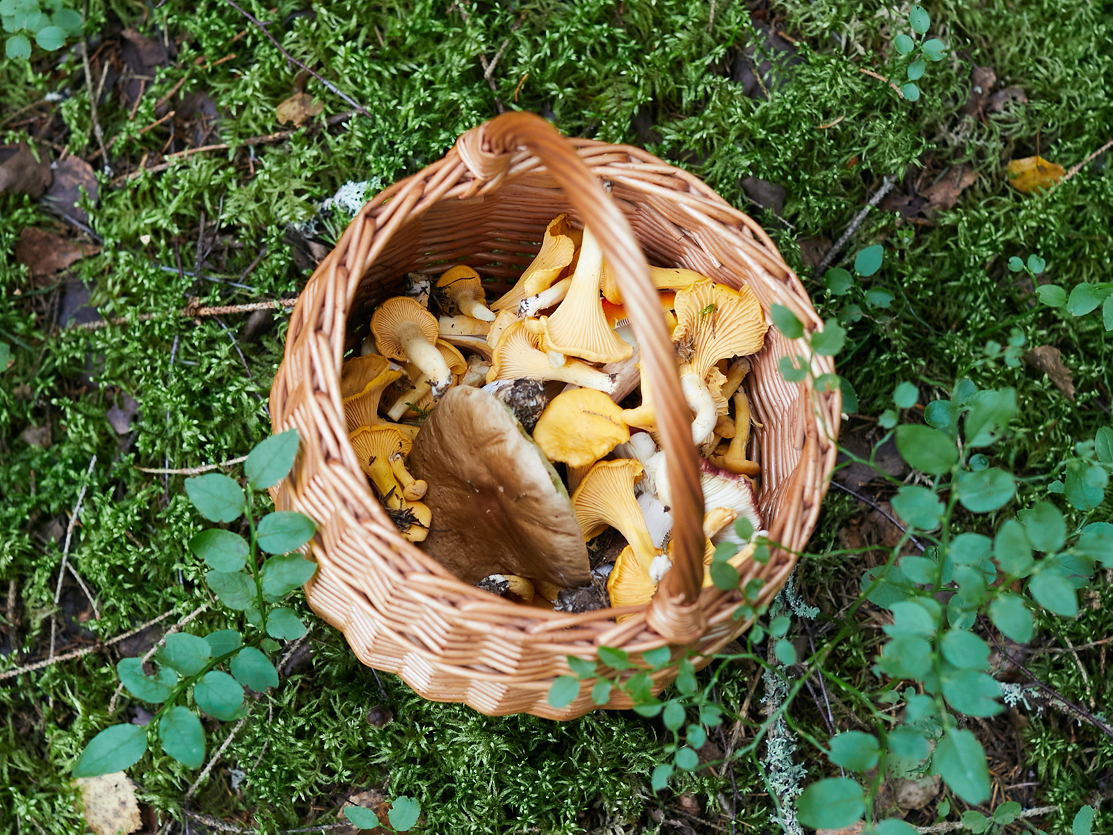 A Guide to Hunting for Edible Mushrooms in Colorado